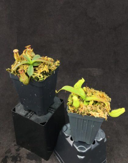 Nepenthes (ventricosa x carunculata var robusta) x (ventricosa x xtrusmadiensis)