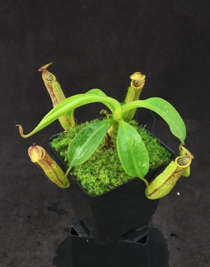 Nepenthes copelandii