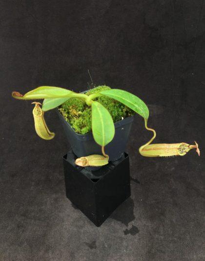 Nepenthes burbidgeae x veitchii