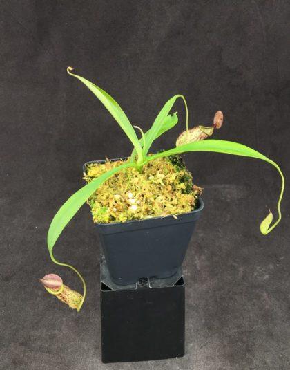 Nepenthes rafflesiana 'Elongata' x tenuis