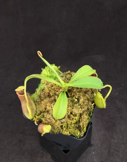 Nepenthes lowii x spectabilis