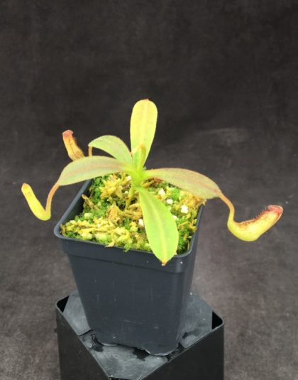 Nepenthes klossii