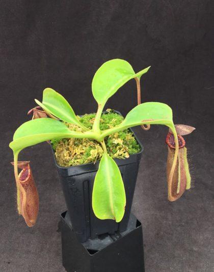 Nepenthes (lowii x boschiana) x [(lowii x veitchii) x sibuyanensis x xtrusmadiensis)]