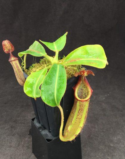 Nepenthes (lowii x boschiana) x veitchii