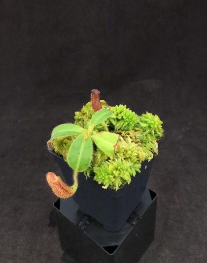 Nepenthes glandulifera