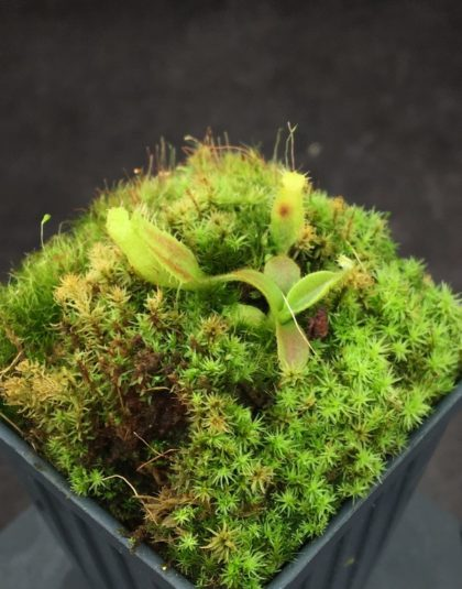 Nepenthes platychila