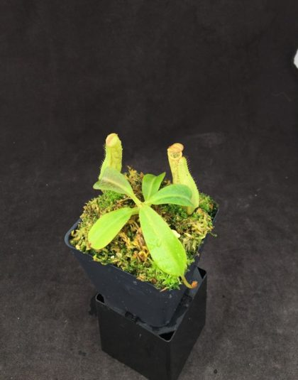 Nepenthes copelandii x lowii