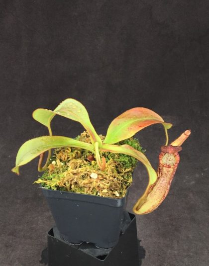 Nepenthes spectabilis x veitchii - Candy Stripe