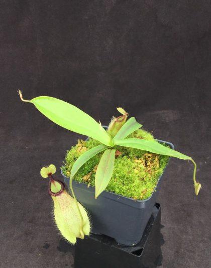 Nepenthes mirabilis var globosa x hamata