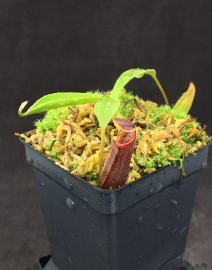 Nepenthes bongso