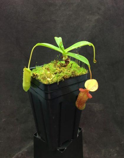 Nepenthes (ventricosa x sibuyanensis) -giant x {[ventricosa x (spathulata x lowii)] x xtrusmadiensis}