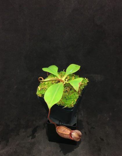 Nepenthes sibuyanensis x robcantleyi