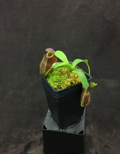 Nepenthes spathulata x gymnamphora