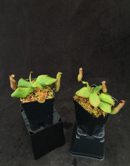 Nepenthes adnata