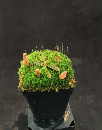 Nepenthes vieillardii