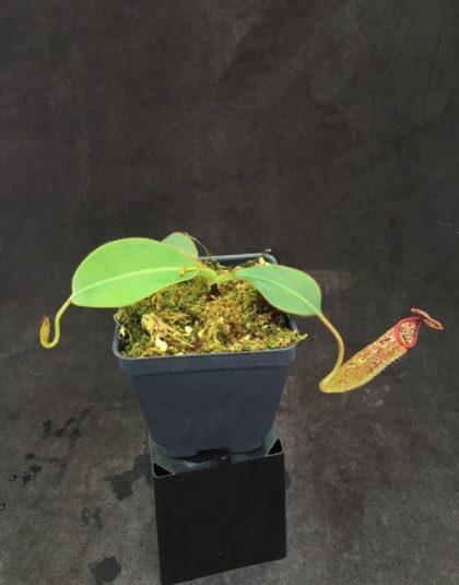 Nepenthes burbidgeae x glandulifera