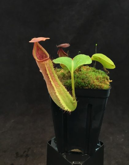 Nepenthes truncata (g)
