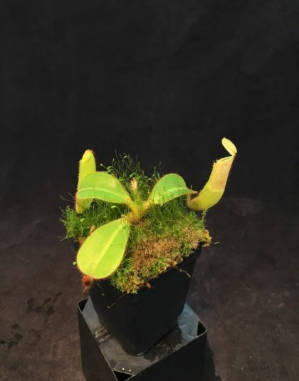 Nepenthes chaniana