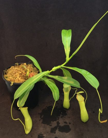 Nepenthes Zephyr