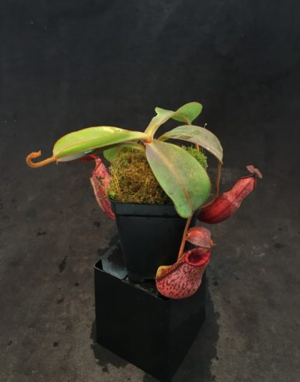 Nepenthes (veitchii x lowii) x spectabilis