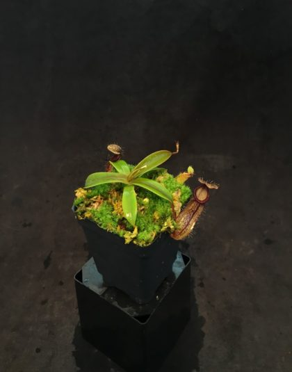 Nepenthes burkei x hamata