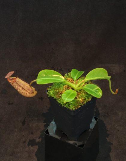 Nepenthes robcantleyi x burbidgeae