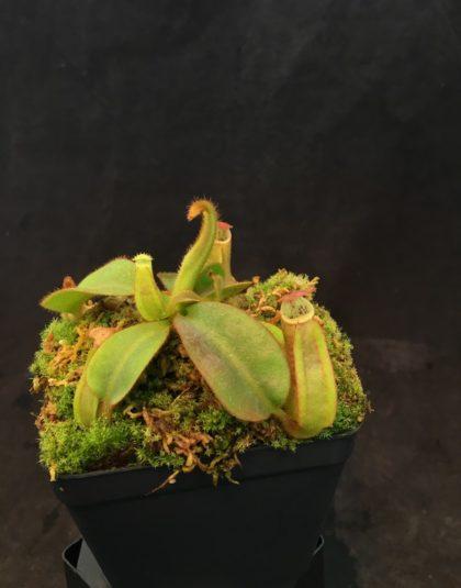 Nepenthes veitchii Gunung Murud x veitchii Candy Stripe