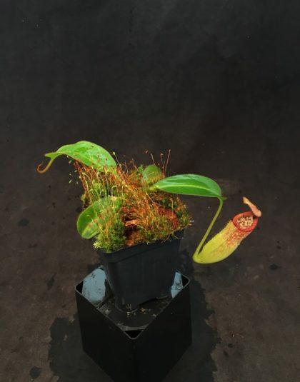 Nepenthes petiolata x burbidgeae