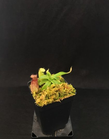 Nepenthes hamata clone 3