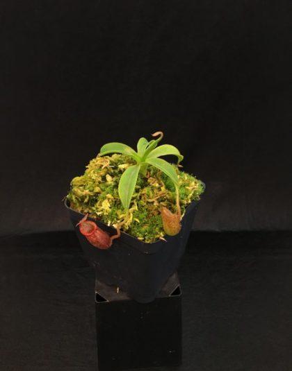 Nepenthes petiolata x talangensis