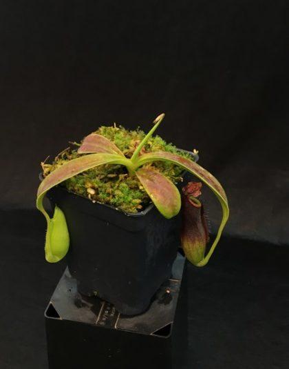 Nepenthes naga