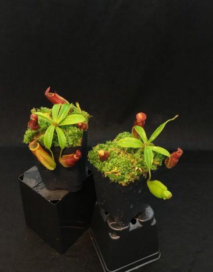 Nepenthes spathulata x dubia