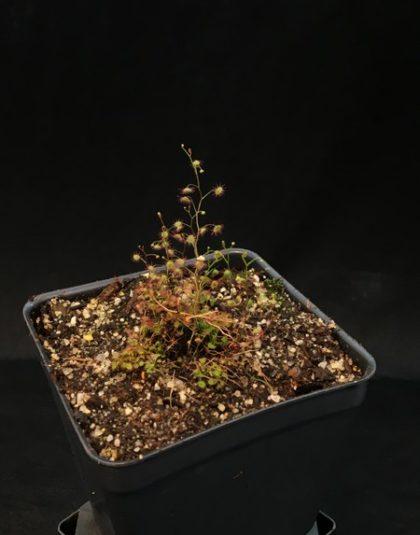 Drosera menziesii ssp. menziesii