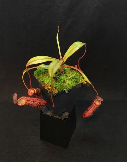 Nepenthes spectabilis x ventricosa