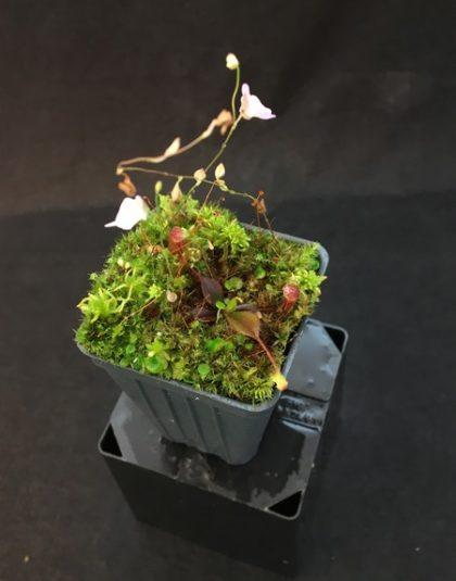 Nepenthes palawanensis