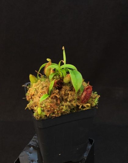 Nepenthes aristolochioides (Tujuh) x singalana