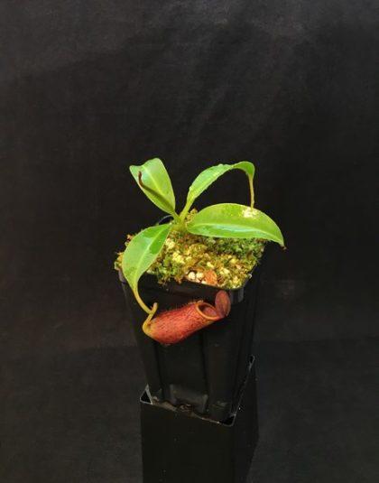 Nepenthes copelandii x mira