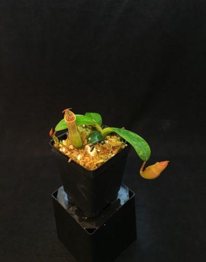 Nepenthes veitchii Murud Striped x campanulata