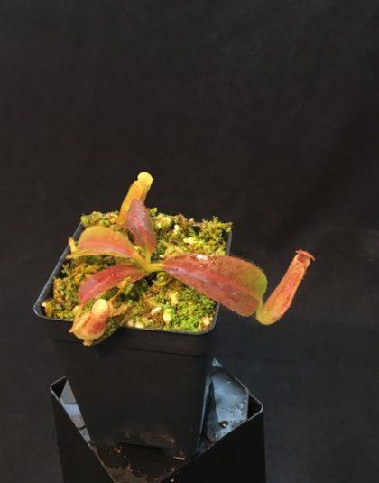 Nepenthes glandulifera x veitchii Candy Stripe