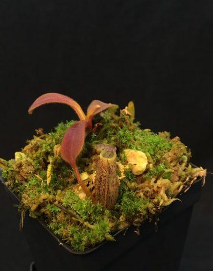 Nepenthes spec. G. Murud
