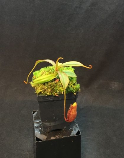 Nepenthes lingulata