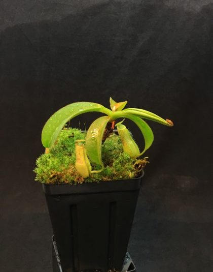 Nepenthes sumatrana x (lowii x veitchii)