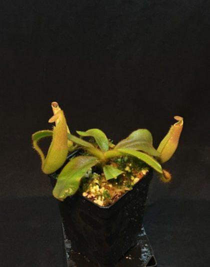 Nepenthes veitchii Gunung Murud Striped x veitchii Green Peristome
