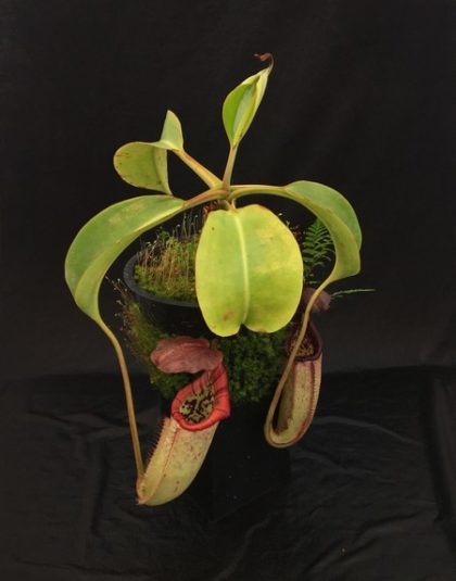 Nepenthes burbidgeae x robcantleyi