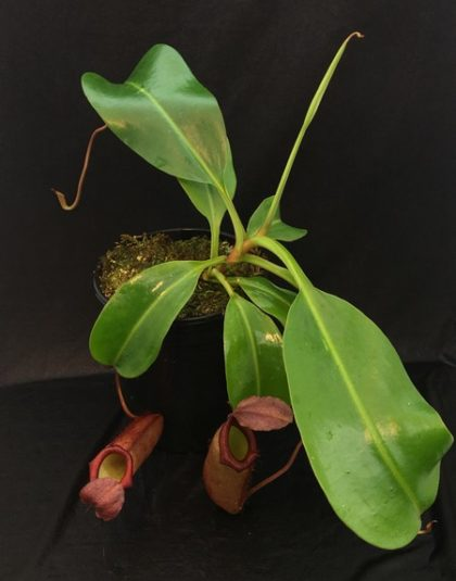 Nepenthes truncata x flava