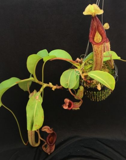 Nepenthes (lowii x veitchii) x (maxima x mira)