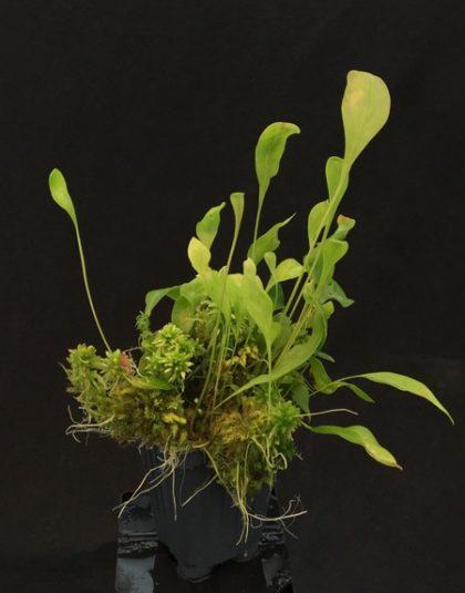 Utricularia alpina P. Moon x asplundii