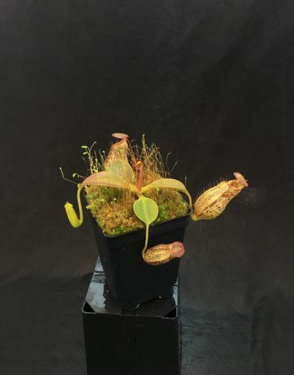 Nepenthes robcantleyi x (aristolochioides x spectabilis)