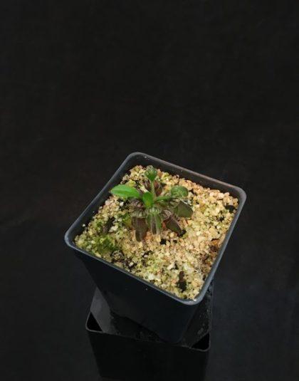 Cephalotus follicularis - clone #9