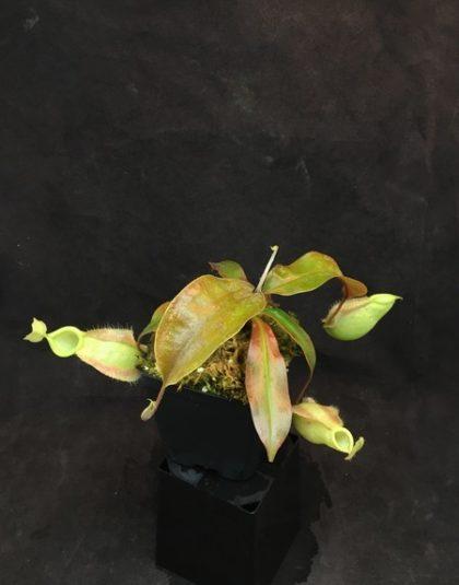 Nepenthes rafflesiana x ampullaria